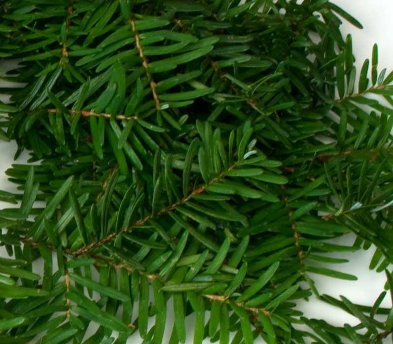 Freshly Harvested Douglas Fir Tips