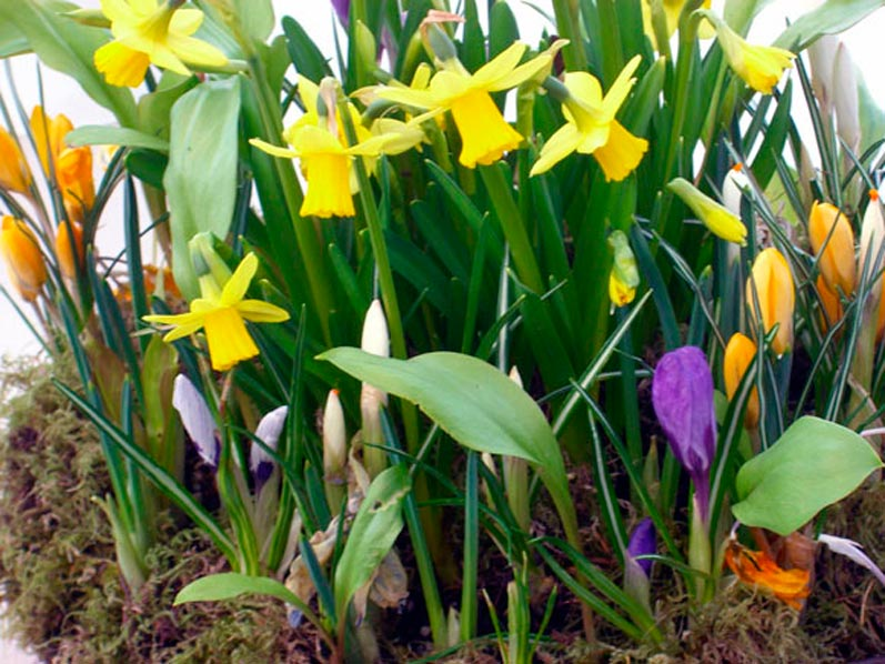 Northwest Daffodila and Crocus in April