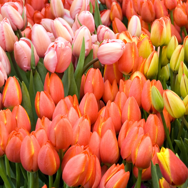 Northwest Tulips at Seattle's Pike Place Market
