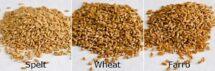 Spelt, Hard Red Wheat Berries & Emmer Farro