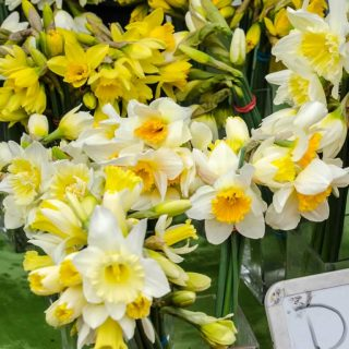 Fresh Daffodils at the Portland Farmers Market
