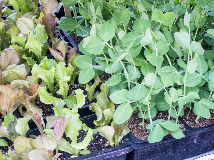 Portland Farmers Market Opening Day 2014: Seedlings