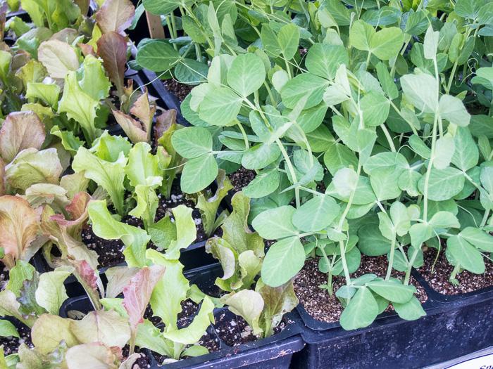 Portland Farmers Market Opening Day 2014: Seedlings