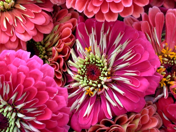Zinnias at University District Farmers Market
